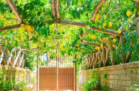 Fruits arch in Lemon garden of Sorrento at summer
