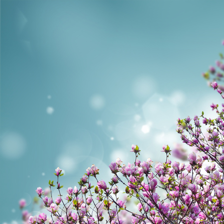 Blooming magnolia tree with pink buds on blue sky background with copy space Stock Photo