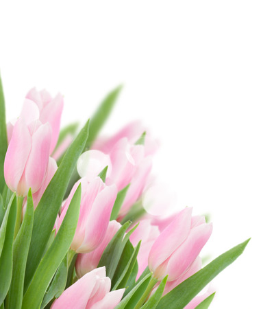pink tulips close up over white background