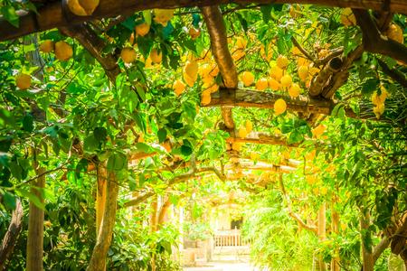 Fruits in Lemon garden of Sorrento at summer, retro toned Stock Photo