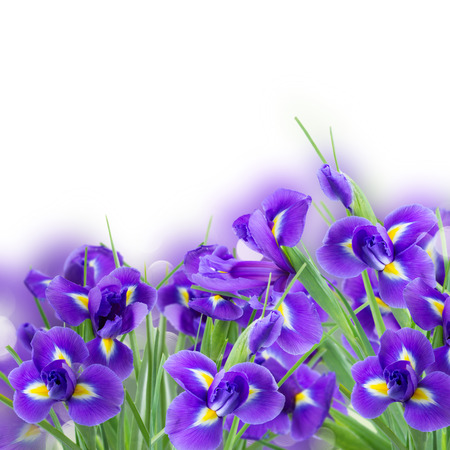 blue irises flower posy close up over white background
