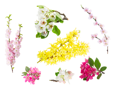 Spring tree flowers and twigs isolated on white background