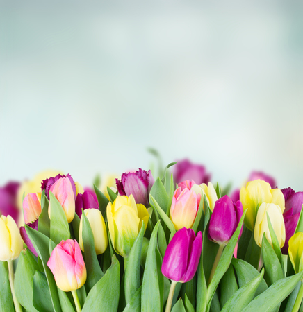 yellow and purple tulip flowers border on blue background with copy space Stock Photo