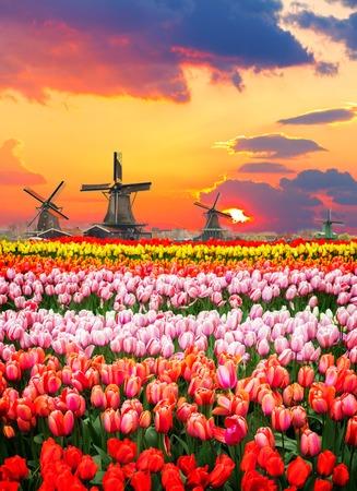 traditional Dutch windmills and rows of tulips at sunset, Netherlands
