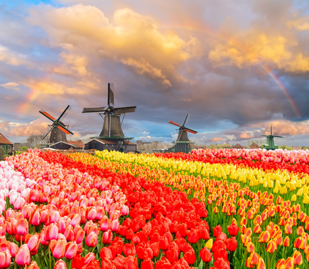 traditional Dutch windmills of Zaanse Schans and rows of tulips under sunset sky with rainbow, Netherlands