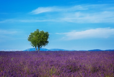 Lavender field and tree with summer blue sky and clouds, France