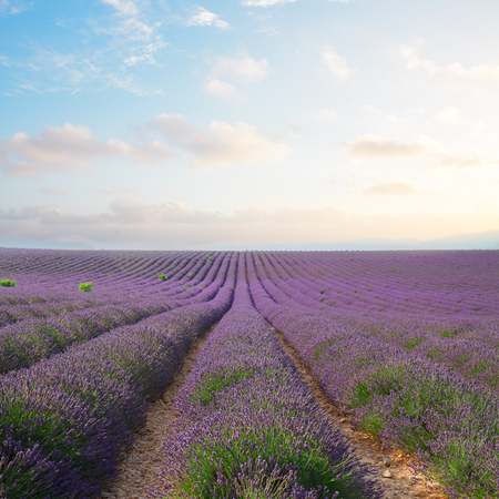 Lavender flowers field rows with summer blue and pink sunset, Provence, France