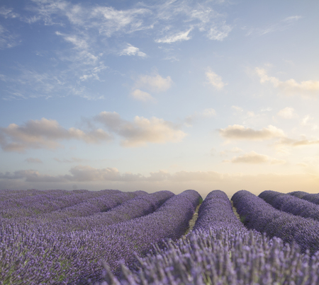 Lavender fresh flowers field with summer blue and pink sunrise sky, Provence, France Stok Fotoğraf
