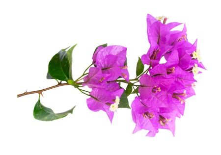 bougainvillea violet flowers isolated on white background