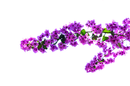 bougainvillea branch with violet flowers isolated on white background