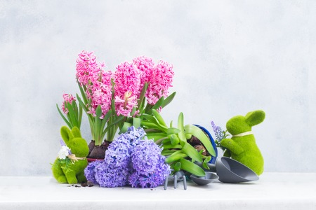 Gardening concept with hyacinth fresh pink and blue flowers