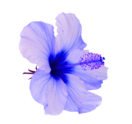 tropical flower, blue hibiscus flowers isolated on white background Foto de archivo