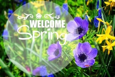 Anemone and daffodils growing flowers close up , Keukenhof, Netherlands with welcome spring slogan