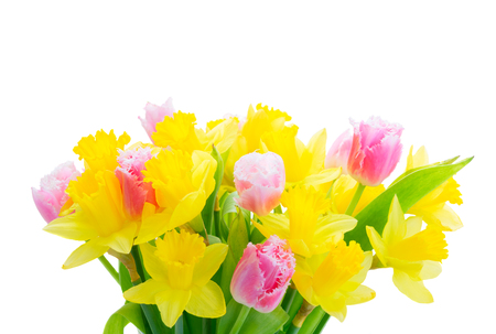 fresh pink tulips and yellow daffodils isolated on white background Stock Photo