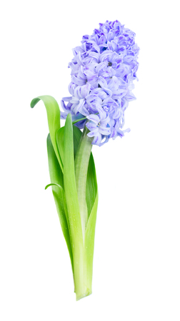 Hyacinth blue fresh flower with green leaves isolated on white background