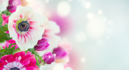 fresh anemone flowers isolated on blue bokeh background banner 写真素材