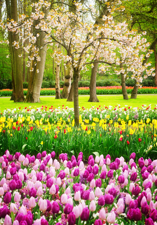 Colourful Blooming cherry tree and tulips in an Spring Formal Garden, retro toned