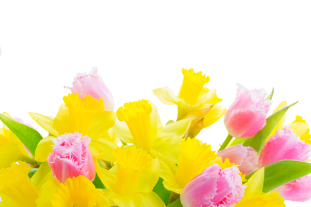 fresh pink tulips and yellow daffodils border isolated on white background