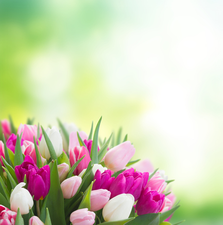 bunch of fresh purple, pink and white tulip flowers in green garden