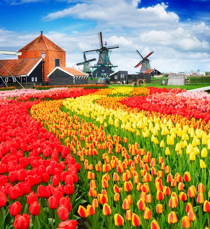 traditional Dutch rural scene with windmills and field of tulips of Zaanse Schans, Netherlands 写真素材