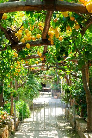 Fruits gallery in Lemon garden of Sorrento at summer