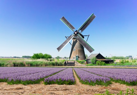 landscape with traditional Dutch windmill with traditional hyacinth filed, Netherlands