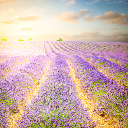 landscape with rows of lavender field under sunrise blue and pink sky, France, retro toned