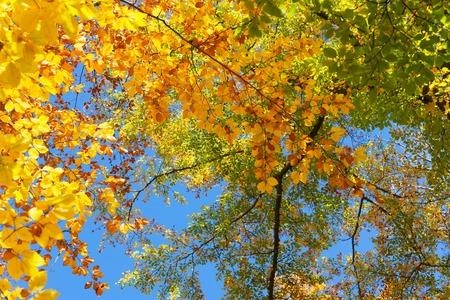 Vibrant yellow and green walnut fall tree foliage background