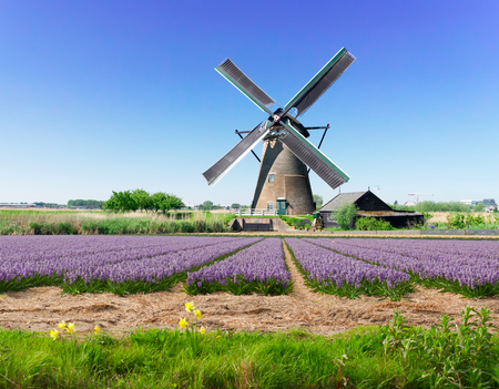 landscape with traditional Dutch windmill with traditional blooming hyacinth filed, Netherlands Stockfoto