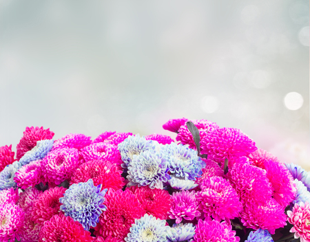 magenta pink and blue chrysanthemum flowers border on gray background with copy space