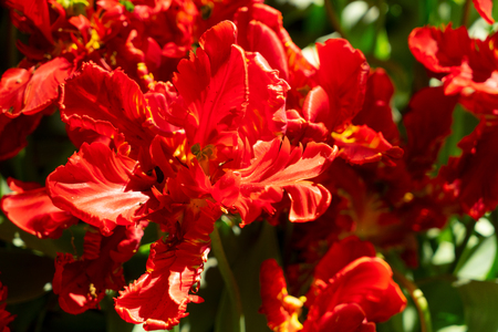 floral background - close up of blooming red parrot tulip 免版税图像