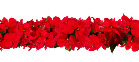 Garland of fresh scarlet poinsettia flower or christmas star on a white
