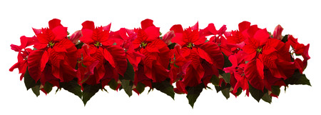 Border of fresh scarlet poinsettia flower or christmas star  on a white Фото со стока