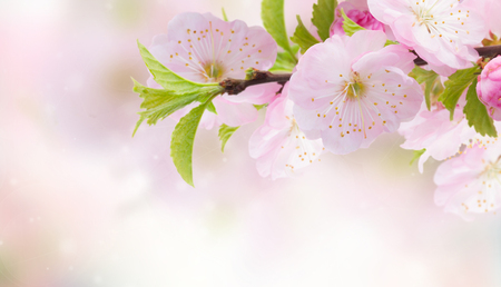 Blossoming pink cherry tree flowers close up against pink  banner 版權商用圖片