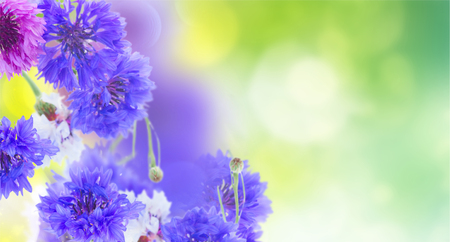 Posy of blue and pink cornflowers on green garden  banner Stock Photo