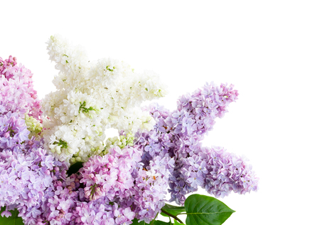 lilac flowers in soft pastel colors isolated over white background