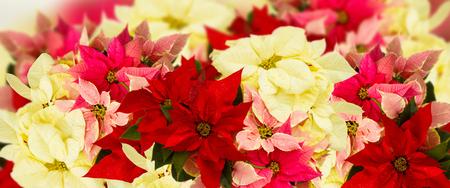 border of fresh poinsettia flowers or christmas star banner
