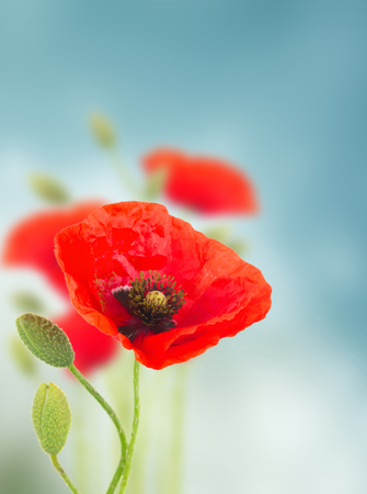 Red poppy flowers with buds  on blue defocused  background