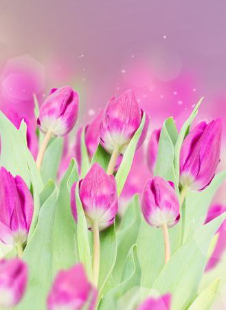 three  purple  tulip flowers  isolated on bokeh background