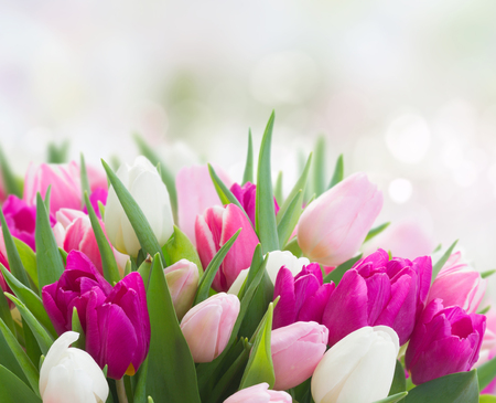 bunch of fresh purple, pink and white tulip flowers in garden