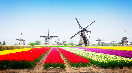 landscape with traditional Dutch windmill with traditional tulip filed, Netherlands, retro toned