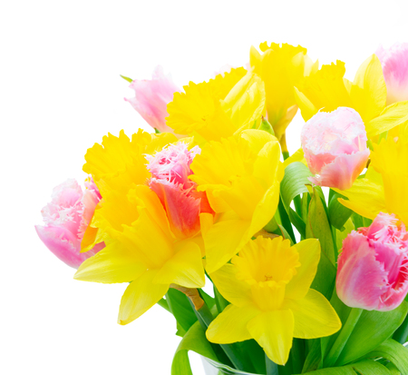 Fresh pink tulips and yellow daffodils isolated on white