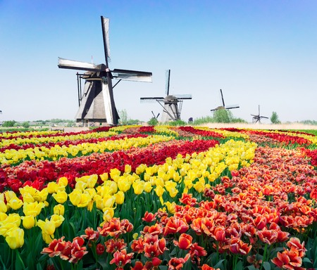 Row of traditional dutch windmills at Kinderdijk with tulips flowers fields, Netherlands