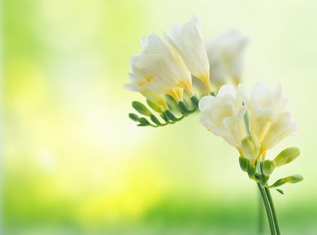White freeseia fresh flowers twig over green garden