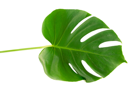Monstera one natural green tropical leaf isolated on white