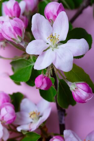 Spring apple tree blooming flowers on pink background, close up scene Stock Photo