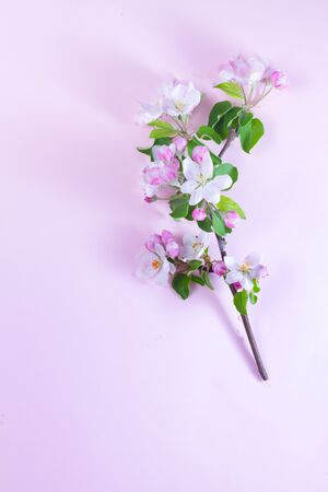 Spring apple tree blooming flowers branch on pink background, top view flat lay frame with copy space Stock Photo