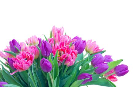 Pink and violet fresh tulip flowers and green leaves close up isolated on white background Zdjęcie Seryjne