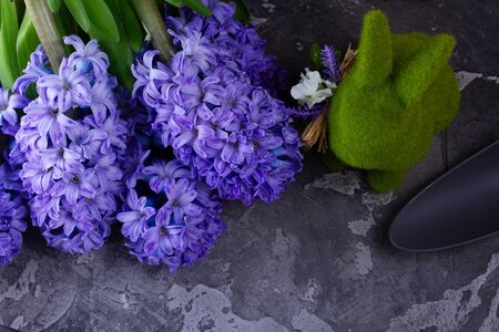 Gardening concept with hyacinth fresh flowers on dark gray background with copy space, top view