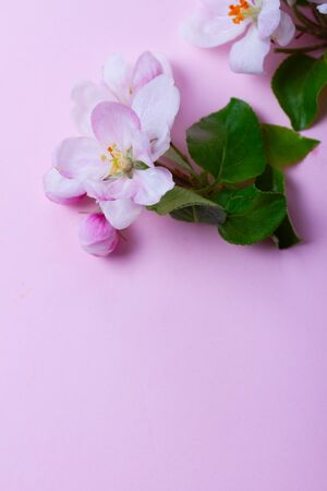 Spring apple tree blooming flowers twig on pink background, top view flat lay close up scene with copy space Stock Photo